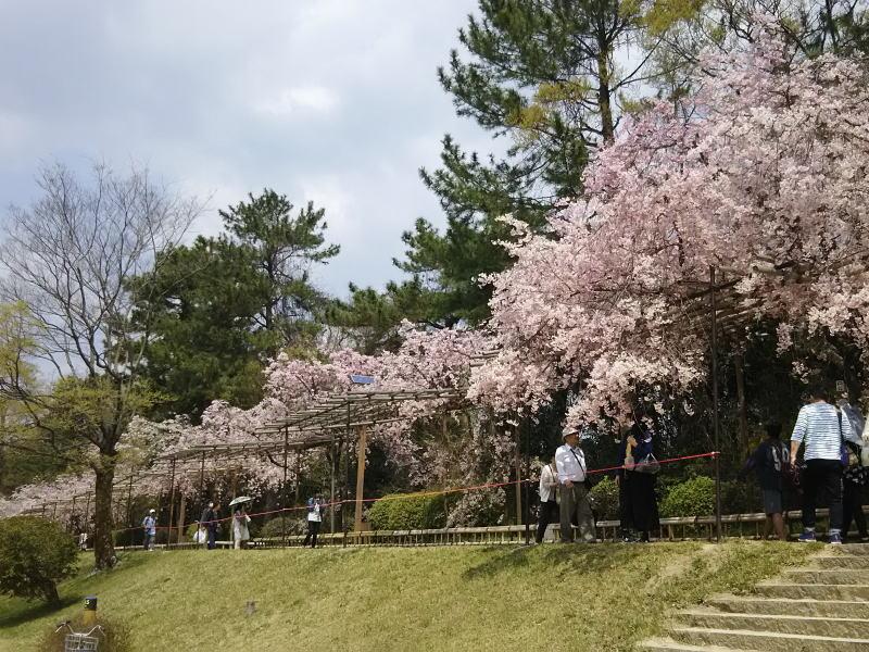 八重紅枝垂れ桜 2018 / 京都 ブログ ガイド