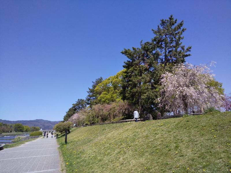 京都 桜 洛東 半木の道 2019 / 京都 ブログ ガイド
