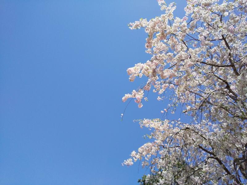 八重紅枝垂れ桜 / 京都 ブログ ガイド