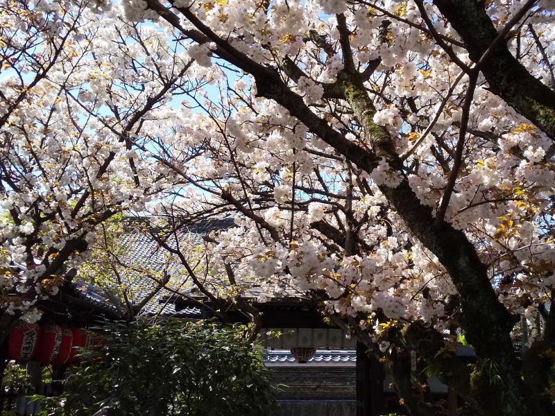 京都 おすすめ 桜スポット 京都 桜 洛中 雨宝院 2019 / 京都 ブログ ガイド