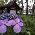 紫陽花苑 2019 / 京都 ブログ ガイド