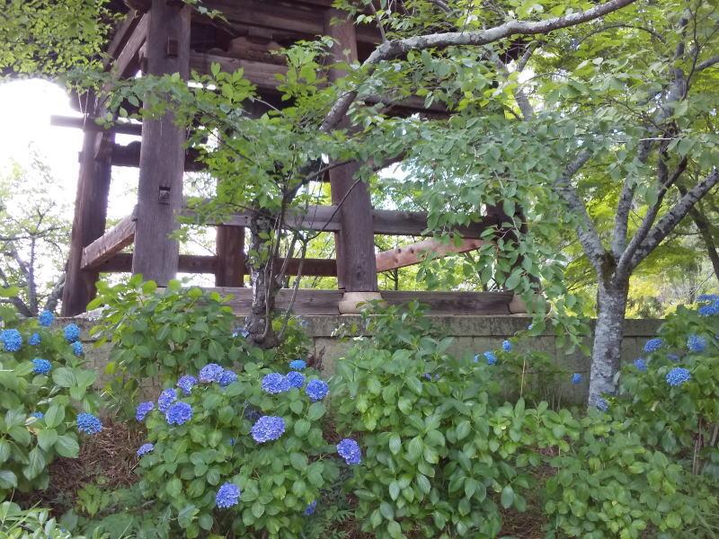 真如堂 紫陽花と青紅葉 2019