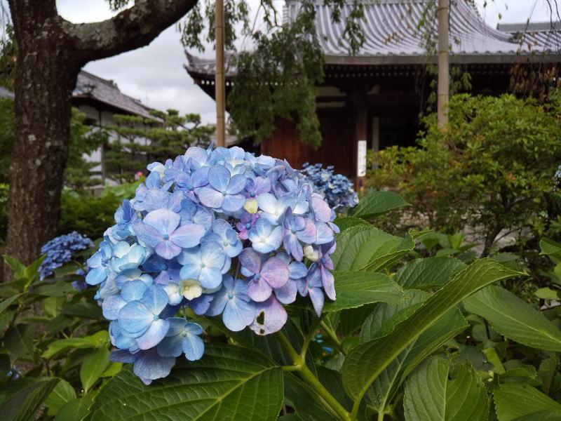法金剛院 紫陽花 / 京都 ブログ ガイド