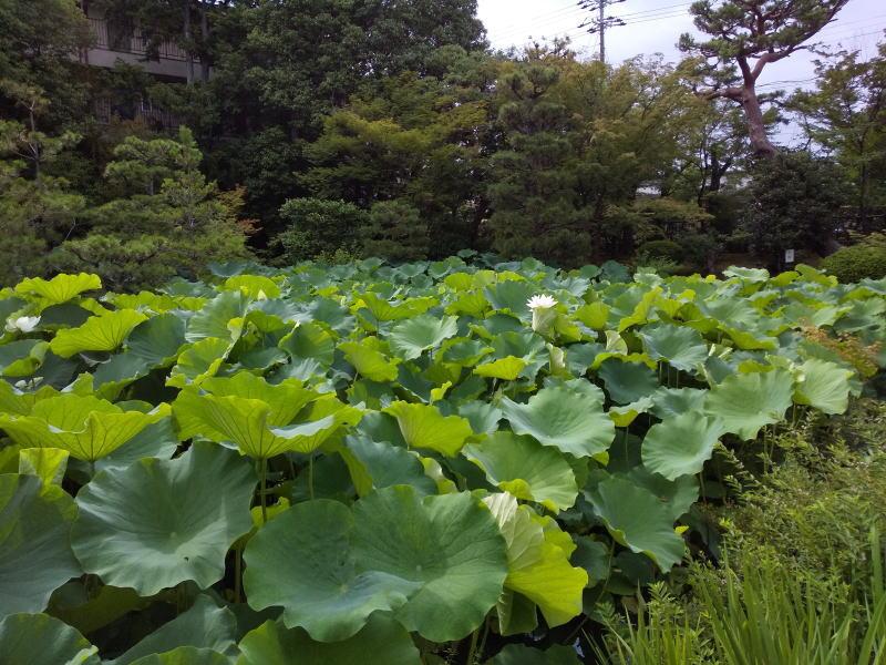蓮池 / 京都 ブログ ガイド