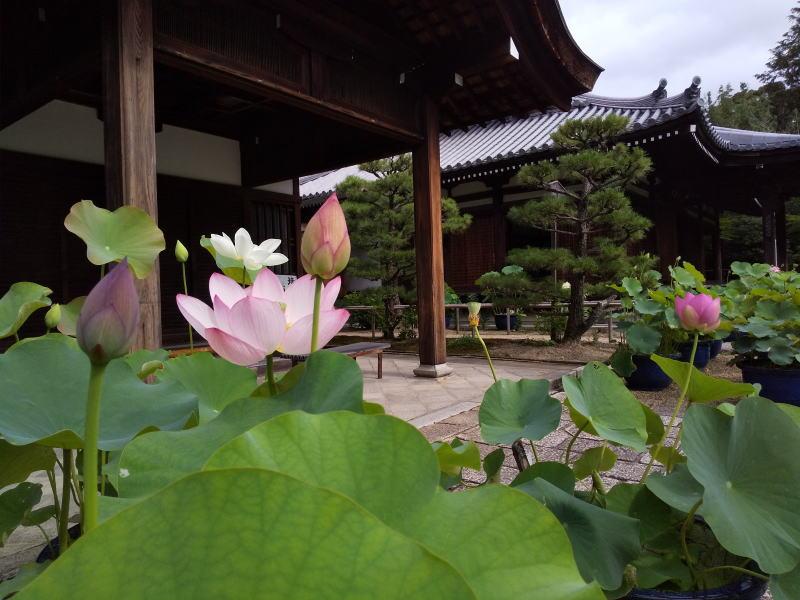 法金剛院 蓮 / 京都 ブログ ガイド