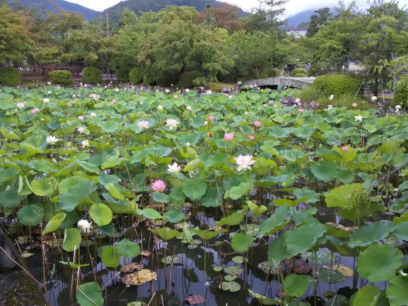 天龍寺 放生池の蓮 / 京都 ブログ ガイド