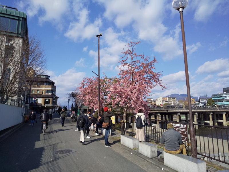 三条大橋西詰の桜 / 京都 ブログ ガイド