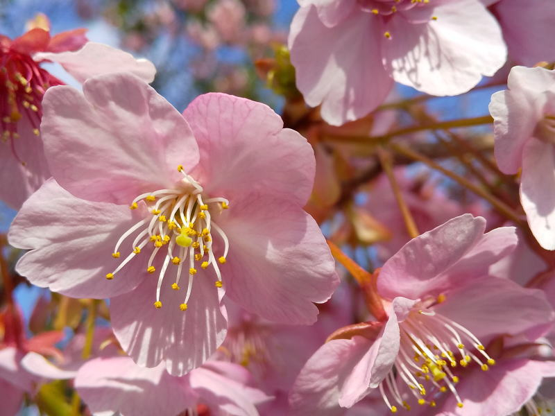 京都 観光・旅行 2020 三条大橋西詰の桜 / 京都 ブログ ガイド