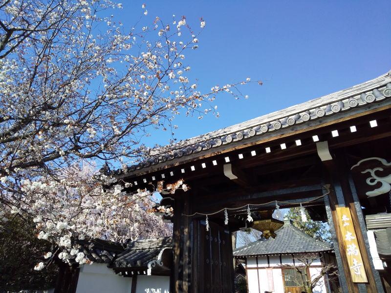 本満寺 垂れ桜 2020 / 京都 ブログ ガイド