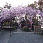 水火天満宮 枝垂桜 2020 / 京都 ブログ ガイド