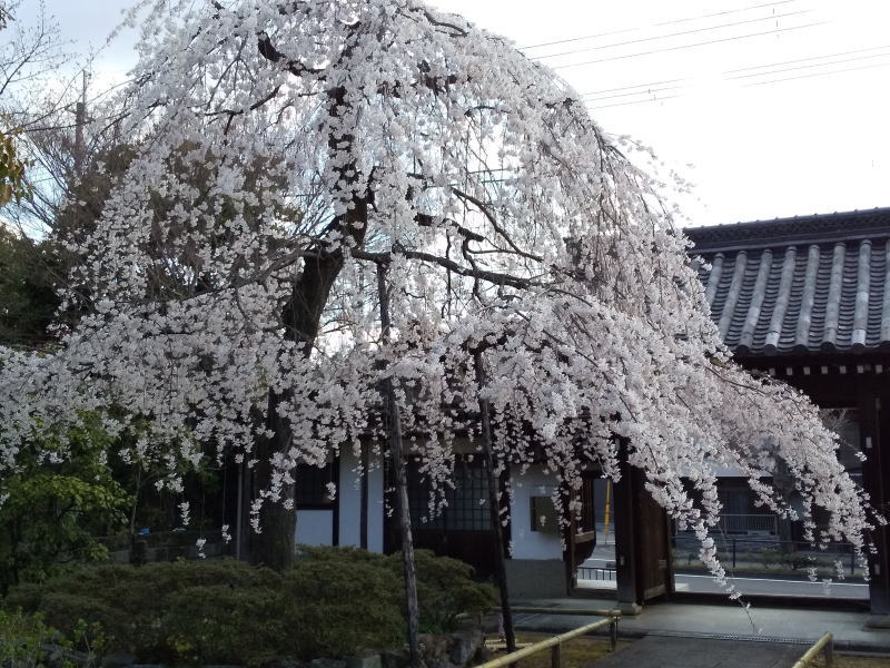 上品蓮台寺 枝垂桜 2020 / 京都 ブログ ガイド
