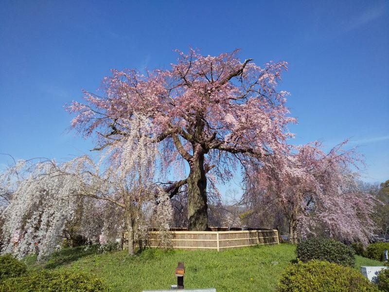 円山公園 祇園枝垂桜 2020 / 京都 ブログ ガイド