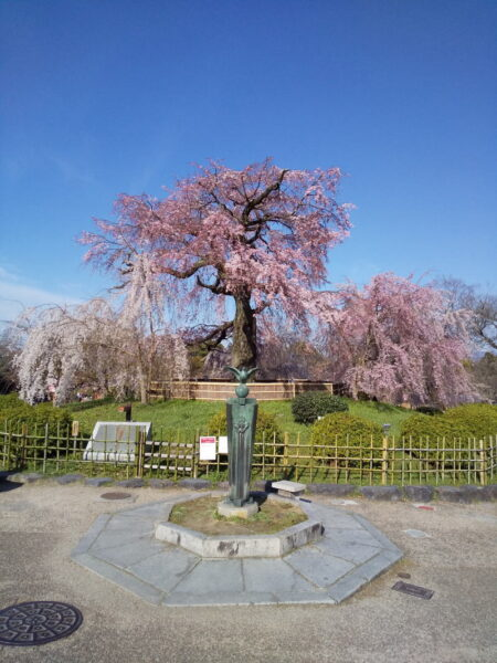 京都 おすすめ 桜スポット 円山公園 祇園枝垂桜 2020 / 京都 ブログ ガイド