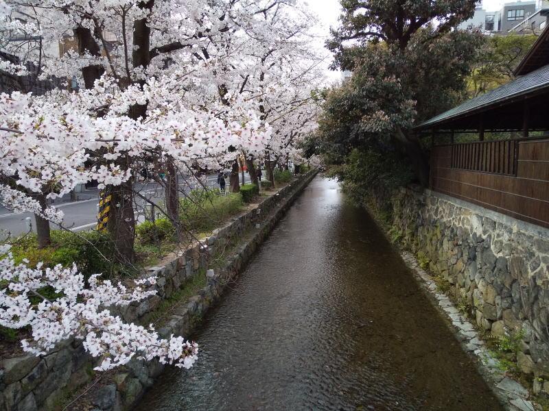 木屋町通 桜 2020 / 京都 ブログ ガイド