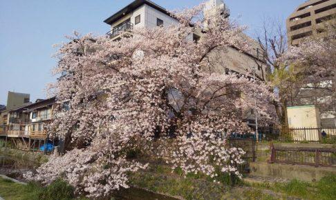 木屋町 桜 2020 / 京都 ブログ ガイド