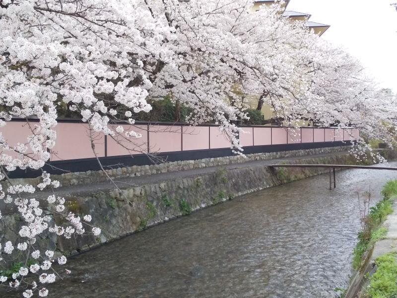 京都 おすすめ 桜スポット 岡崎 琵琶湖疎水沿いの桜 2020 / 京都 ブログ ガイド