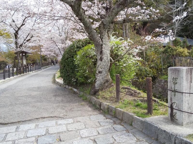 哲学の道 桜 2020 / 京都 ブログ ガイド