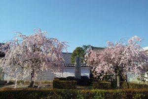 京都 遅咲き 桜 妙顕寺 桜 2020 / 京都 ブログ ガイド