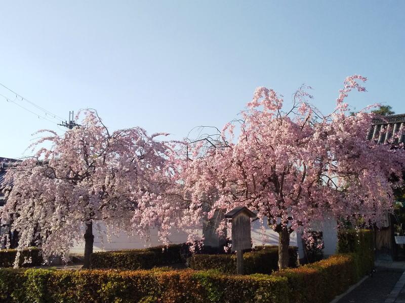 妙顕寺 桜 2020 / 京都 ブログ ガイド