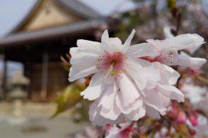 妙蓮寺 桜 2020 / 京都 ブログ ガイド
