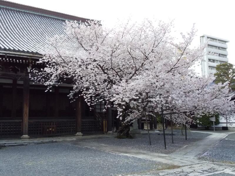本法寺 桜 2020 / 京都 ブログ ガイド