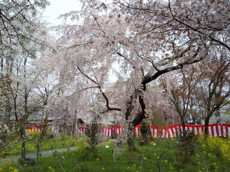京都 おすすめ 桜スポット 平野神社 桜 2020 / 京都 ブログ ガイド