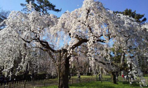 京都御所 近衛邸跡 桜 2020 / 京都 ブログ ガイド