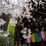 六角堂 桜 2020 / 京都 ブログ ガイド