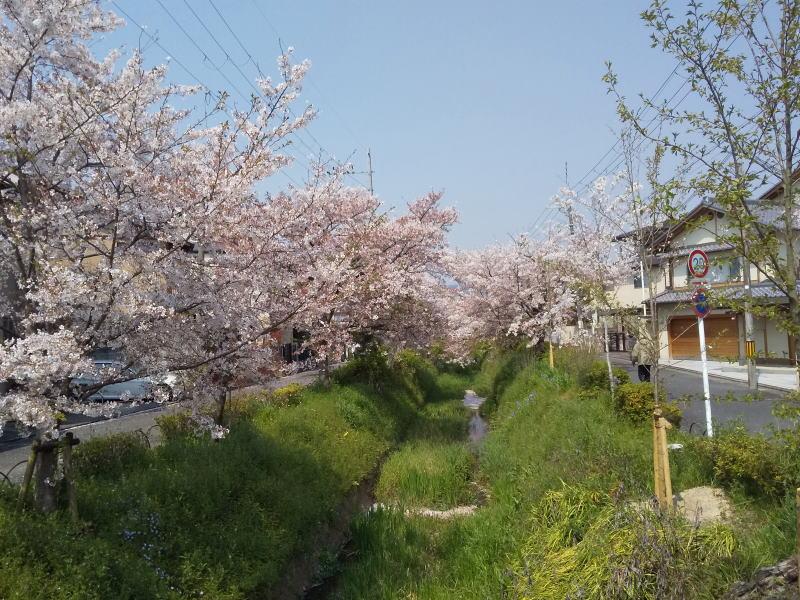 高野川 桜 2020 / 京都 ブログ ガイド