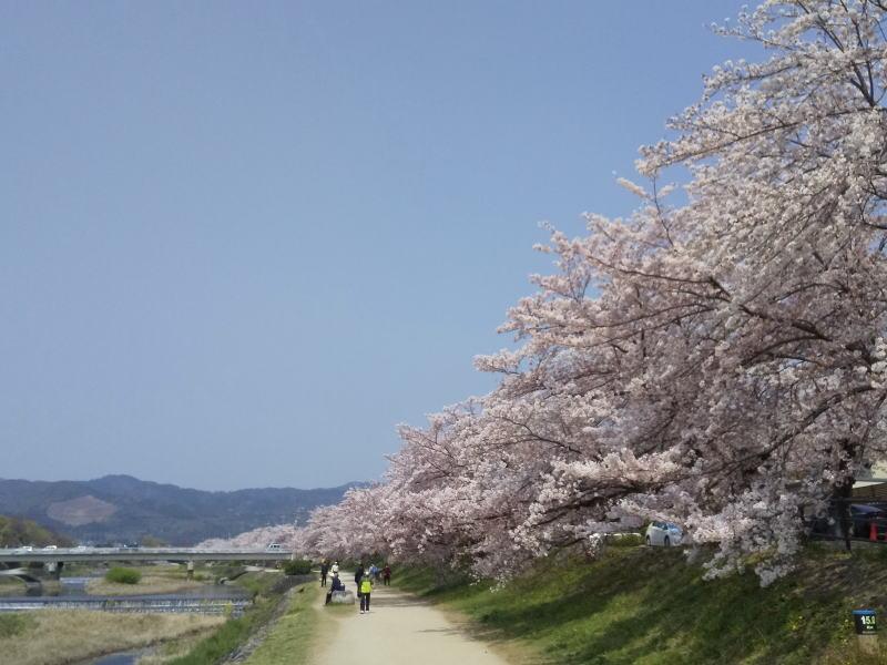 賀茂川 桜 2020 / 京都 ブログ ガイド