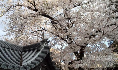 佛光寺 桜 2020 / 京都 ブログ ガイド