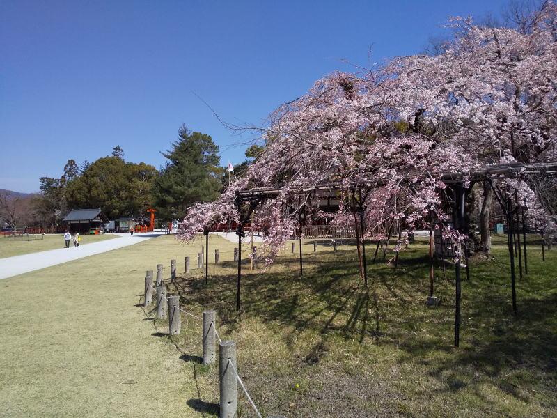 上賀茂神社 御所桜 2020 / 京都 ブログ ガイド