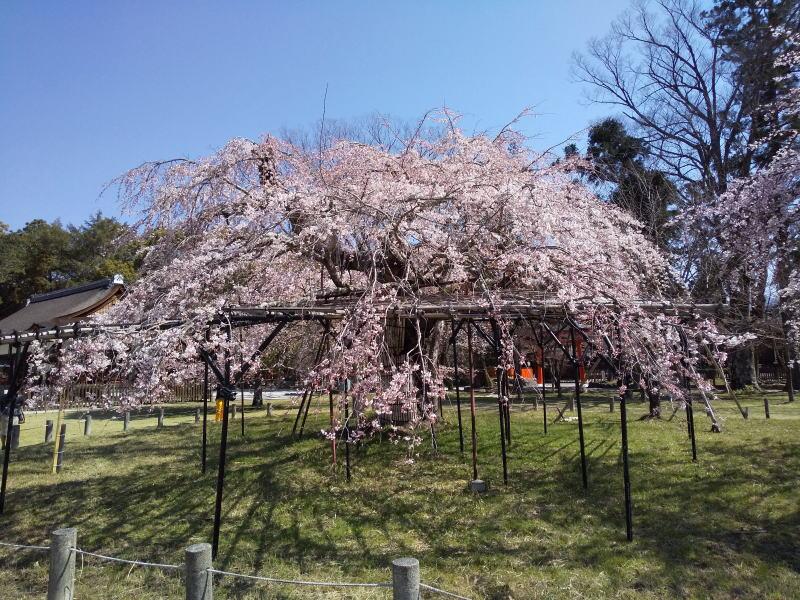 上賀茂神社 桜 2020 / 京都 ブログ ガイド