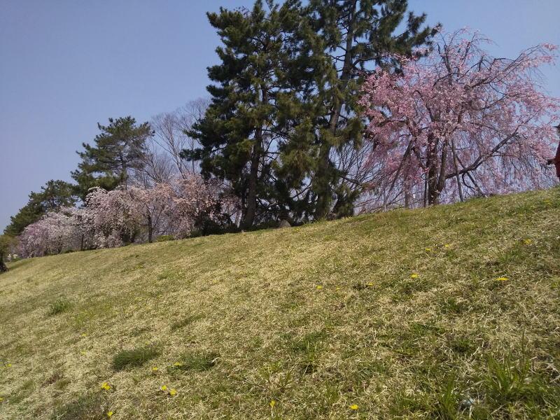 半木の道 八重紅枝垂れ桜 2020 / 京都 ブログ ガイド