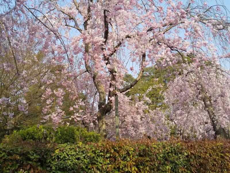 清流亭 桜 2020 / 京都 ブロ グガイド