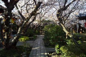 雨宝院 桜 2020 / 京都 ブログ ガイド