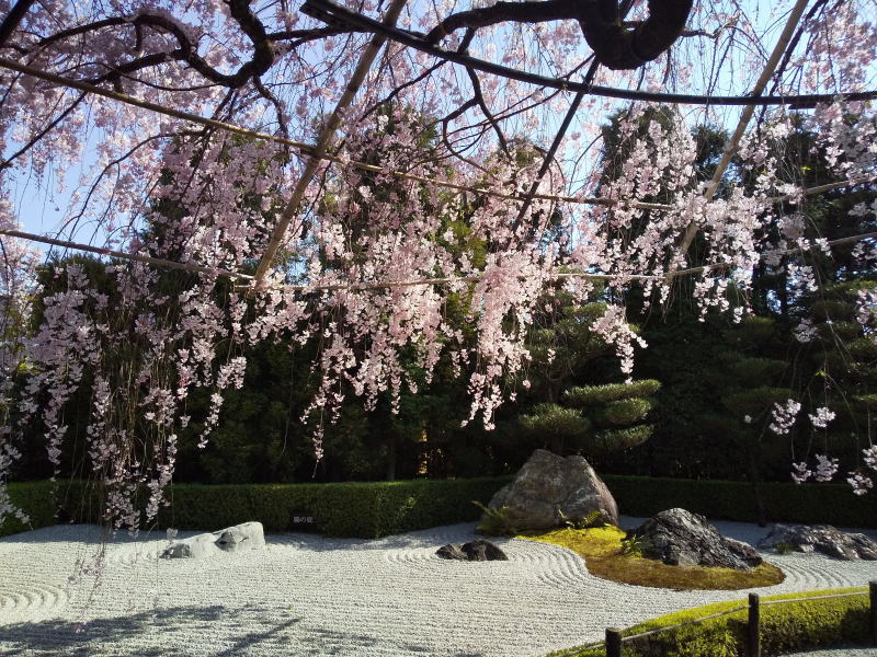 退蔵院 桜 2020 / 京都 ブログ ガイド