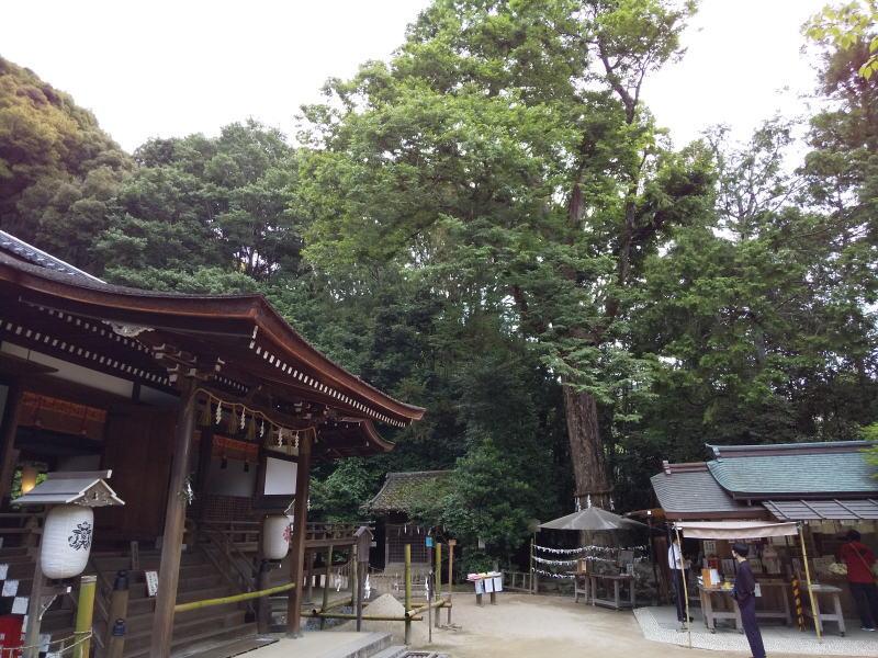 御神木のケヤキ / 京都 ブログ ガイド