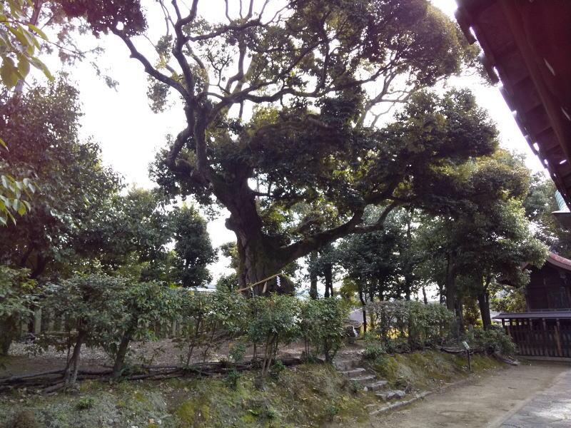 京都 御神木のある神社 スダジイ