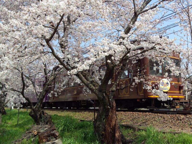 京都 おすすめ 桜スポット 嵐電鳴滝 桜トンネル / 京都 ブログ ガイド