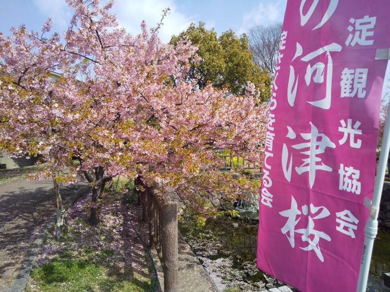 京都 河津桜 / 京都ブログガイド