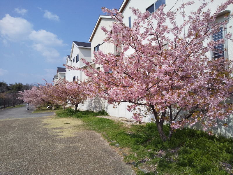 住宅街の河津桜
