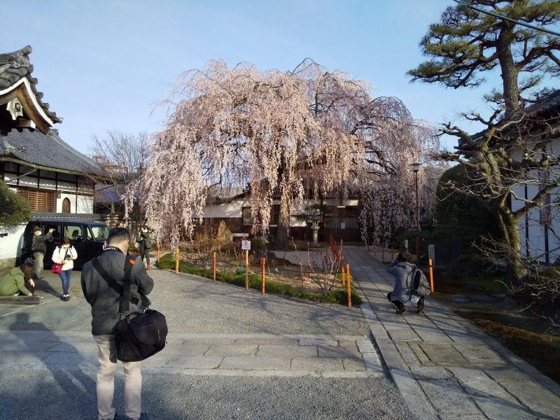 本満寺 枝垂桜 2021 / 京都ブログガイド