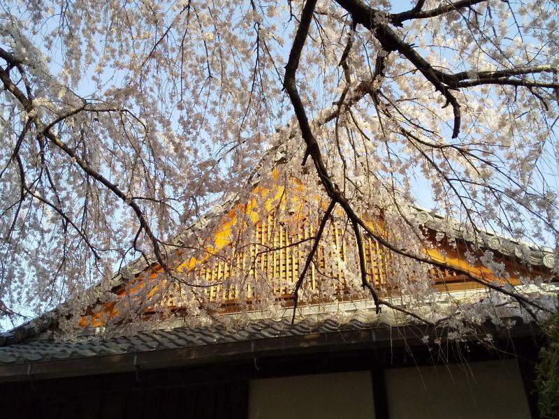 枝垂桜 / 京都ブログガイド