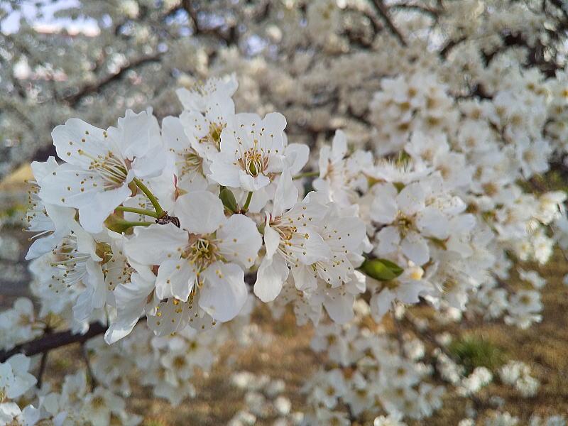 白い桜 / 京都ブログガイド