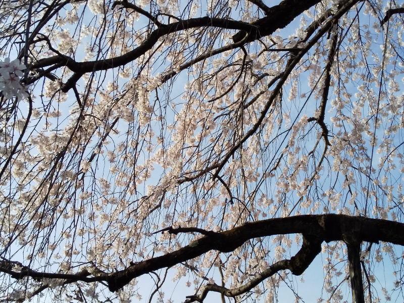 上品蓮台寺 枝垂桜 2021 / 京都ブログガイド