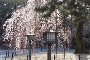 千本釈迦堂 阿亀桜 2021 / 京都ブログガイド