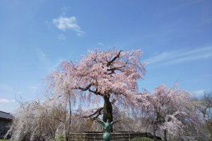 円山公園 祇園枝垂桜 2021 / 京都ブログガイド