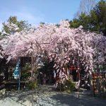 水火天満宮 紅枝垂桜 2021 / 京都ブログガイド