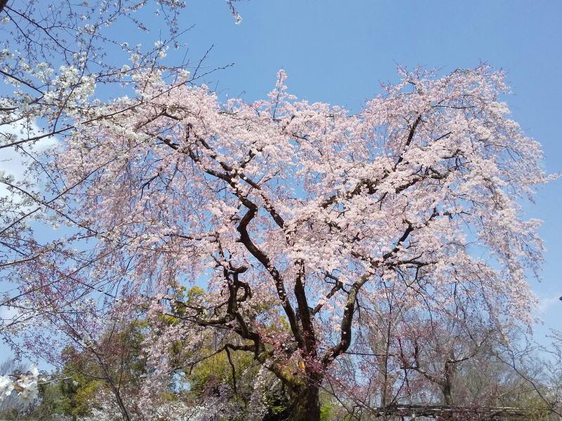 桜養生園 / 京都ブログガイド